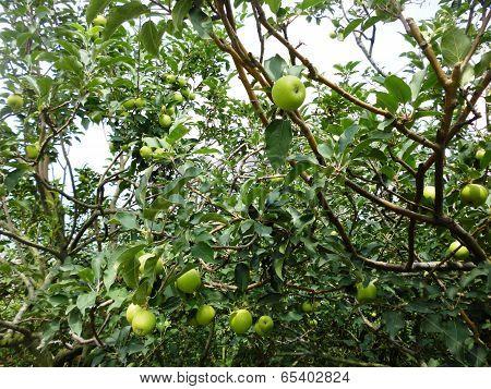 apple orchard in batu