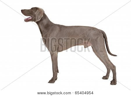Weimaraner Dog In His Typical Pose