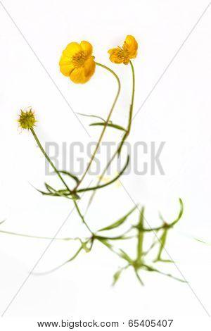 vulnerary plants