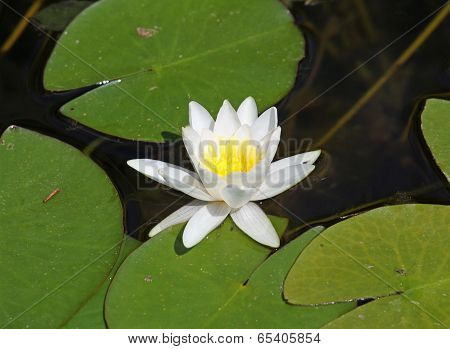 Beautiful Water Lily White In The Middle Of The Pond