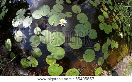 Pond With Green Leaves And Flowers Of Water Lily Photographed