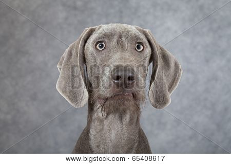 Portrait Of Wirehaired Slovakian Pointer Dog
