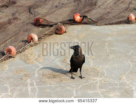 Indian House Crow (corvus Splendens) Near The Fishing Nets On The Beach Of Goa