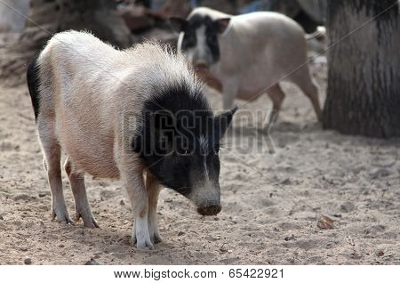 Black And White Pig On The Farmyard