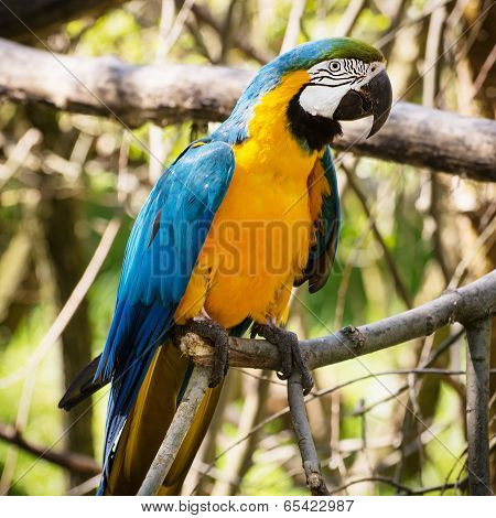 One Blue-and-yellow Macaw (ara Ararauna)