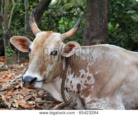Indian Cow Resting On The Ground, Goa