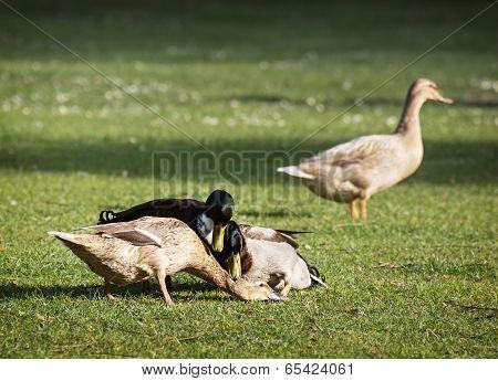 Mallard Ducks Mate On The Field