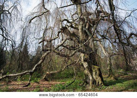 Old European Beech (fagus Sylvatica) In The Park