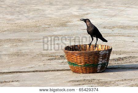 Indian House Crow (corvus Splendens) Sitting On A Wicker Basket