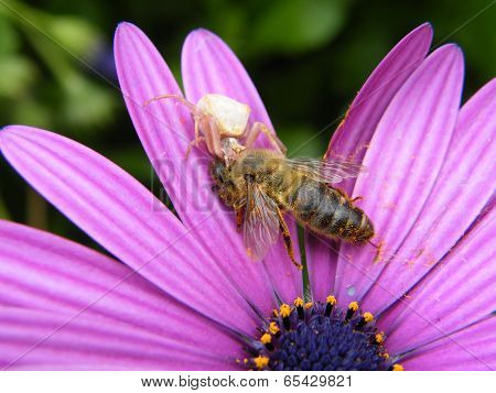 Crab Spider With Captured Honey Bee
