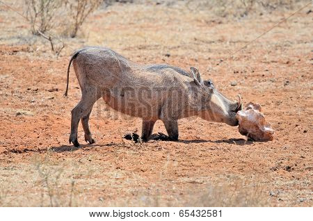 Warthog Licking Salt Block