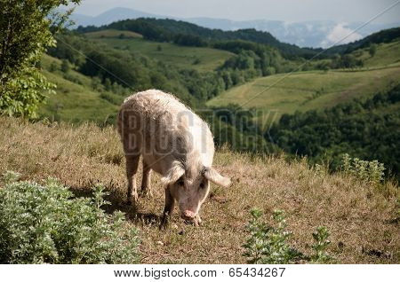 Pig on pasture