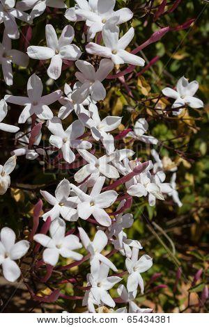 White pink Jasmine flowers bush