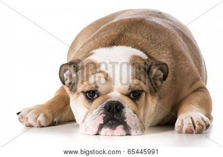 english bulldog laying down resting - 8 months old