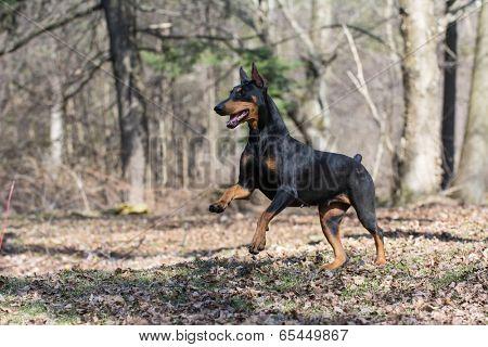 doberman pinscher running in the woods
