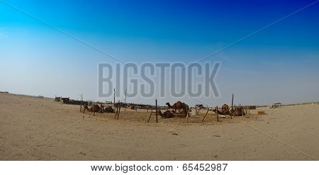 Camels farm panorama in jeddah