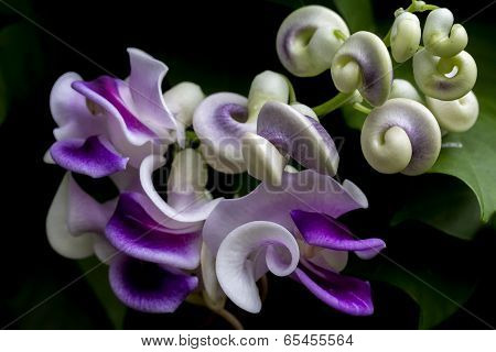 Macro Image Of A Single Flower From A Corkscrew Vine
