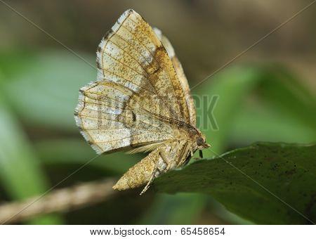 Little Thorn Moth