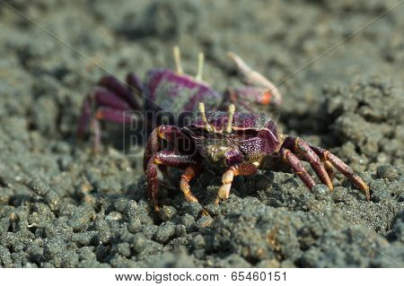 Female Purple Fiddler Crab From West Africa Filtering Sand