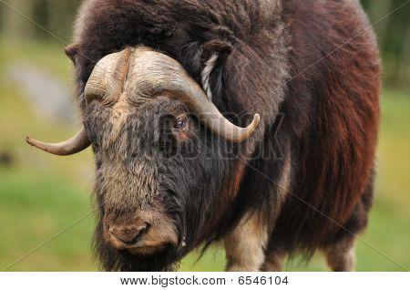 Giant Musk Ox