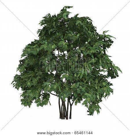 Tree Staphyella Pinnata