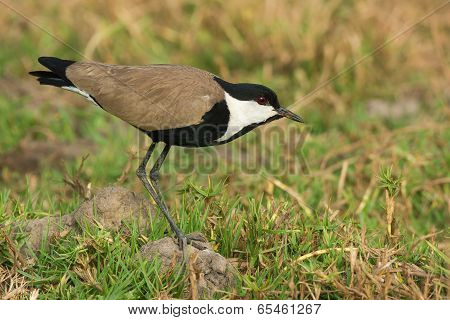 Spur-winged Lapwing (vanellus Spinosus) Standing Cautiously