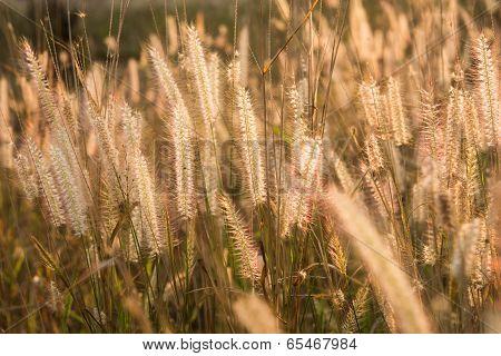 Plants Grass Field At Gold Sunset
