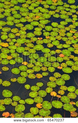 Green Lily Pads In Garden Pond