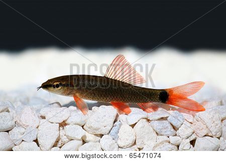 Rainbow shark catfish (Epalzeorhynchos frenatum)
