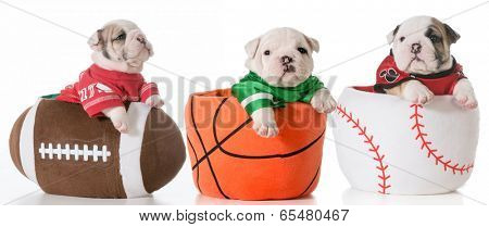 sports hounds - bulldog puppies sitting in sports balls