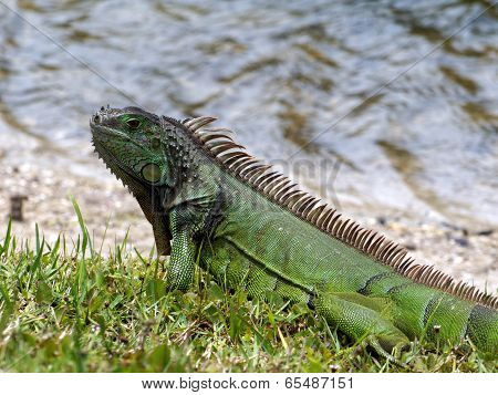 Green Iguana on Grass by Lake