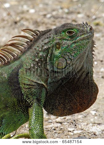 Extreme Closeup Green Iguana and Neck Dewlap