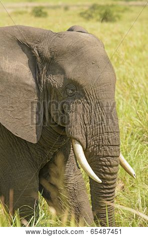 Closeup Of An African Elephant Head