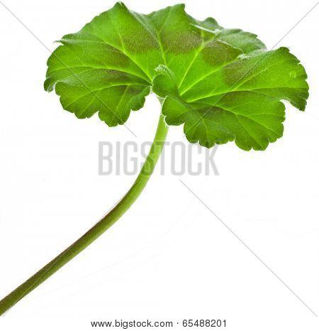 One leaf of Geranium Pelargonium Flowers close up macro shot on white background