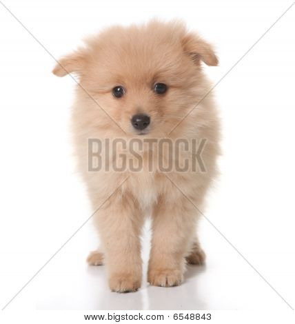 Sweet Tan Colored Pomeranian Puppy On White