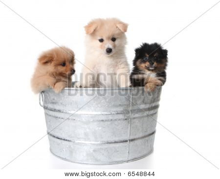 Cute Pomeranian Puppies In A Metal Washtub