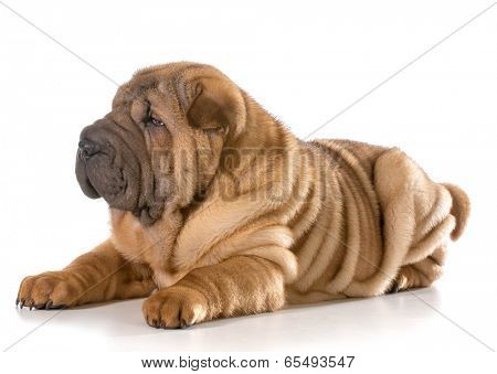 chinese shar pei puppy laying down isolated on white background - 4 months old