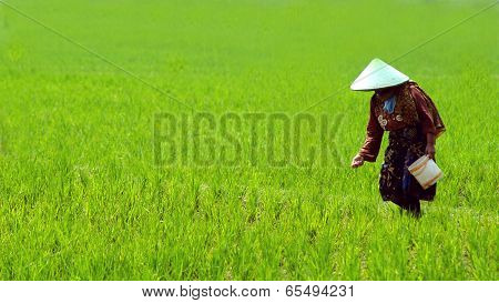woman rice worker in Indonesia