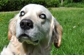 picture of cataract  - Old blind Labrador dog with cloudy eyes caused by cataracts in both eyes - JPG