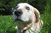 stock photo of cataract  - Old blind Labrador dog with cloudy eyes caused by cataracts in both eyes - JPG