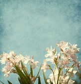 picture of oleander  - Light pink  flowers of oleander  on blue paper background - JPG