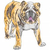stock photo of english-mastiff  - COLOR sketch of the dog English Bulldog breed - JPG