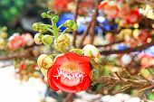 stock photo of cannonball-flower  - Closeup of Cannonball flower in Thai temple.