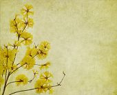 picture of trumpet flower  - Tabebuia chrysotricha yellow flowers blossom in spring on old paper background - JPG