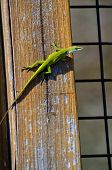 picture of chameleon  - Bright green Chameleon lizard in the wild - JPG