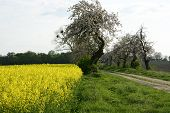 picture of rape-field  - Image of landscapes spring and blooming rape fields