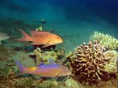 picture of grouper  - A yellowsaddle goatfish and a coral grouper hunting the same prey - JPG