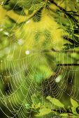 foto of spiderwebs  - Morning light shining through through leaves and a spiderweb covered in due - JPG