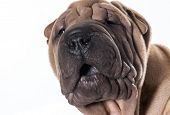 stock photo of shar-pei puppy  - chinese shar pei head portrait isolated on white background - JPG