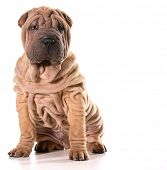 pic of shar-pei puppy  - chinese shar pei sitting isolated on white background - JPG